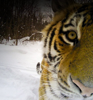 Lending some muscle to WWF's tiger goals